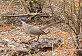 Coua ruficeps olivaceiceps Madagascar 1.jpg