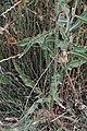 Crepis setosa-Crépis hérissé-20160712 2.jpg