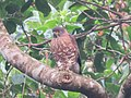 Crested goshawk, Accipiter trivirgatus.jpg
