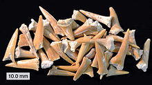 Photo of dozens of yellowish fossilized teeth, the teeth are of various sizes and are spread out randomly on a flat black surface.