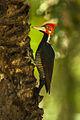 Crimson-crested Woodpecker - Pantanal MG 9082 (16410524515).jpg