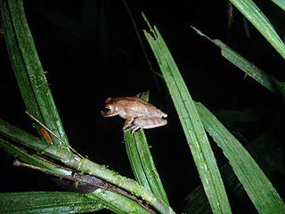 Nicaragua cross-banded tree frog Species of amphibian