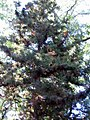 Cryptomeria japonica 4zz.jpg