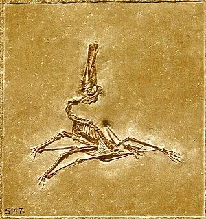 Ctenochasma - Fossil specimen of a young juvenile C. elegans