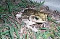 Cuban toad at Guantanamo.jpg
