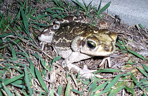 Description de l'image Cuban toad at Guantanamo.jpg.