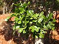 Cupaniopsis anacardioides foliage.jpg