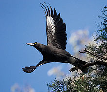 dark grey bird launching into flight against a blue sky with wings outstretched