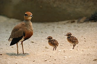 Temminck's courser - Image: Cursorius temmincki with juveniles