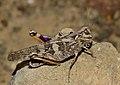 Cute locust (6227999882).jpg