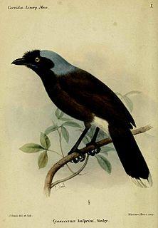 Azure-naped jay species of bird