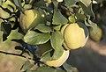 Cydonia sp, Adana 2017-07-12 03-1.jpg