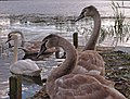 Cygnets and Swans - geograph.org.uk - 1533702.jpg