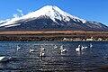 Cygnus olor (flocks) and Mount Fuji.jpg