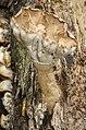 Cymatoderma elegans Jungh 695570.jpg