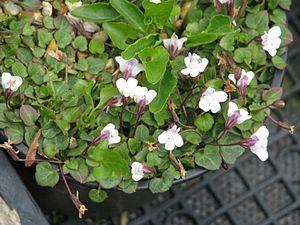 Cymbalaria - Image: Cymbalaria hepaticifolia (14056415509)