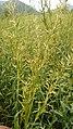 Cymbopogon martinii Image.jpg