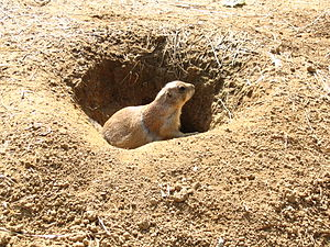 Black-tailed prairie dog - At the National Zoo in Washington, DC