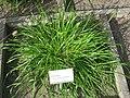 Cynosurus cristatus - Oslo botanical garden - IMG 8908.jpg