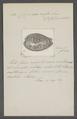 Cypraea rufa - - Print - Iconographia Zoologica - Special Collections University of Amsterdam - UBAINV0274 088 02 0047.tif