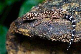 <i>Cyrtodactylus peguensis</i> Species of lizard