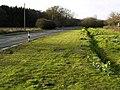 Daffodils beside the A320 - geograph.org.uk - 713297.jpg