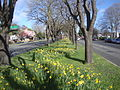 Daffodils in Bealey Median01.jpg
