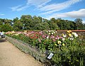Dahlia bed - geograph.org.uk - 558066.jpg