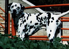 Image illustrative de l'article Dalmatien