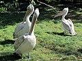 Dalmation pelicans at Vienna Zoo (6363286347).jpg