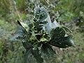 Dasineura crataegi (Cecidomyiidae) - (gall), Elst (Gld), the Netherlands.jpg