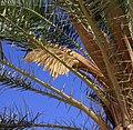 Date palm flowers 2 (3303880537).jpg