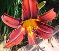 Daylillies 7-7-12 (7597694852).jpg