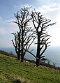 Dead trees above Stoke Beach - geograph.org.uk - 702697.jpg
