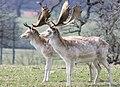 Deer - Woburn Abbey Deer Park April 2010 (4519271980).jpg