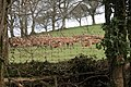 Deer in a field in the Hollocombe Water valley - geograph.org.uk - 146030.jpg