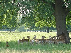 Deer sheltering from the noon day sun - geograph.org.uk - 17326.jpg