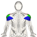Deltoid muscle back3.png