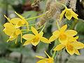 Dendrobium senile-IMG 2129.jpg