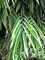 Dendrocalamus asper (Serres de la Madone) leaf.jpg