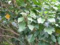 Dendropanax trifidus 01.jpg
