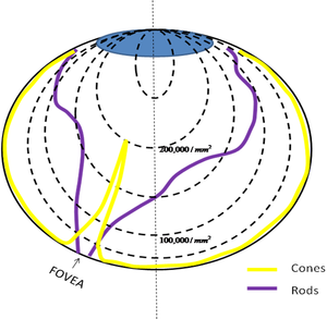 Sensory Systems Visual System Wikibooks Open Books For
