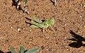 Desert locust solitary hopper1.jpg