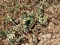 Desert plants 8.JPG