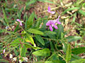 Desmodium paniculatum flowers and fruits 4x3.JPG