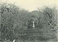 Deutsch-Ostafrika, Zentrales Steppengebiet (Busse) - Tafel 40 - Dornbusch.jpg