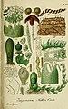 Deutschlands flora in abbildungen nach der natur (1832) (20701551598).jpg