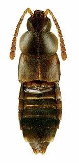 <i>Devia</i> (beetle) Genus of beetles
