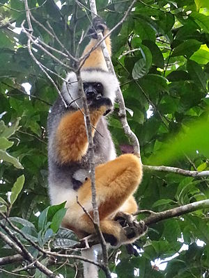 Andasibe-Mantadia National Park - Diademed sifaka with 2-week-old baby