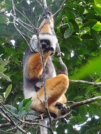 Andasibe-Mantadia National Park - Diademed sifaka with 2-week-old baby